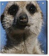 A Close View Of A Meerkat Suricata Acrylic Print
