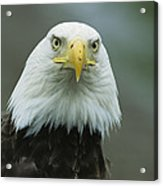 A Close View Of An American Bald Eagle Acrylic Print