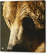 A Close View Of The Face Of A Grizzly Acrylic Print