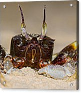A Crab On The Shore  Acrylic Print
