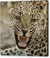 A Female Leopard, Panthera Pardus Acrylic Print