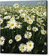 A Field Filled With Daisies In Bloom Acrylic Print