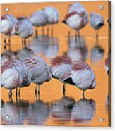 A Flock Of Migratory Flamingos Roost Acrylic Print