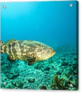 A Goliath Grouper Effortlessly Floats Acrylic Print