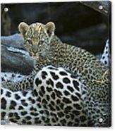 A Leopard  Cub, Panthera Pardus Acrylic Print