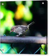 A Little Birdie Told Me Acrylic Print