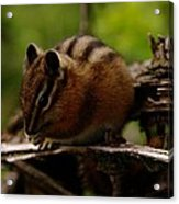 A Little Chipmunk Acrylic Print