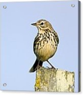 A Meadow Pipit Acrylic Print