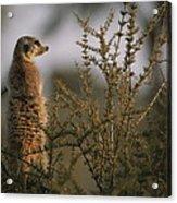 A Meerkat Suricata Suricatta Stands Acrylic Print