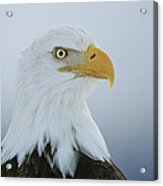 A Portrait Of An American Bald Eagle Acrylic Print