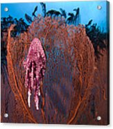 A Red Sea Fan With Sponge Colored Clam Acrylic Print