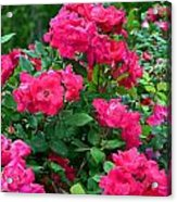 A Rose Is A Rose.... Acrylic Print