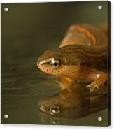 A Striped Newt Notophthalmus Acrylic Print