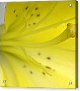 A Yellow Lily Lilium Canadense Acrylic Print