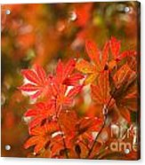 Acer Leaves Acrylic Print