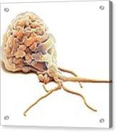 Activated Granulocyte, Sem Acrylic Print
