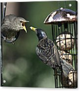 Adult Starling Feeds A Juvenile Acrylic Print