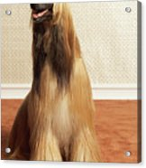 Afghan Hound Sitting In Room Acrylic Print