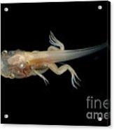 African Clawed Frog Tadpole Acrylic Print
