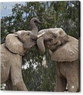 African Elephant Loxodonta Africana Acrylic Print