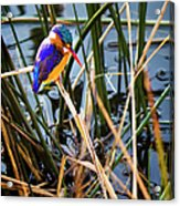 African Pigmy Kingfisher Acrylic Print