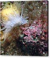 Alabaster Nudibranch Acrylic Print