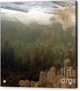 Algae In A Frozen Pond Acrylic Print by Ted Kinsman