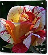 All American Magic Rose Acrylic Print