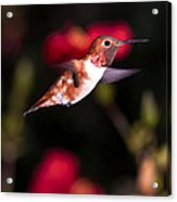 Allen's Hummingbird Acrylic Print