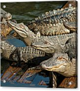 Alligator Pool Party Acrylic Print