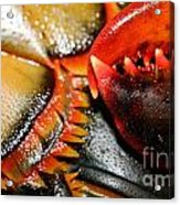 American Lobsters Acrylic Print