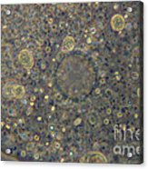 Amoeba Proteus Lm Acrylic Print by M. I. Walker