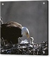 An American Bald Eagle And Chick Acrylic Print