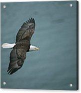 An American Bald Eagle, Haliaeetus Acrylic Print