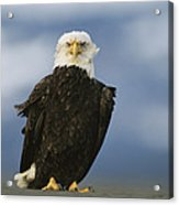 An American Bald Eagle Stands Acrylic Print