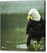 An American Bald Eagle Stares Intently Acrylic Print