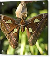 An Atlas Moth Atlas Attacus At The St Acrylic Print