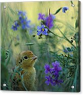 An Attwaters Prairie Chick Surrounded Acrylic Print