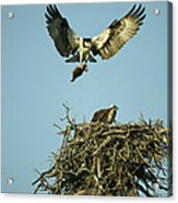 An Osprey Carrying A Fish Back Acrylic Print