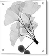 An X-ray Of Ginko Leaves Acrylic Print