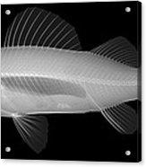 An X-ray Of Yellow Perch Acrylic Print