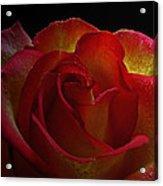 Annaversary Rose I  Acrylic Print