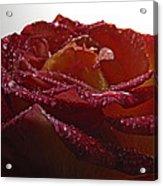 Annaversary Rose II Acrylic Print