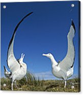 Antipodean Albatross Diomedea Acrylic Print