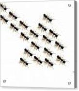 Ants, Forming An Arrow Acrylic Print