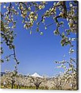Apple Blossom Trees In Hood River Acrylic Print