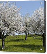 Apple Trees In Full Bloom Acrylic Print