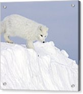 Arctic Fox Alopex Lagopus On Snow Drift Acrylic Print