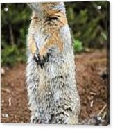 Arctic Ground Squirrel Acrylic Print