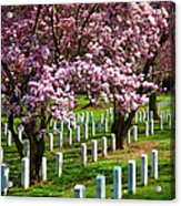 Arlington Cherry Trees Acrylic Print